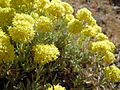 Eriogonum douglasii (6127593306).jpg