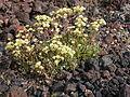 Eriogonum umbellatum majus (4393515277).jpg