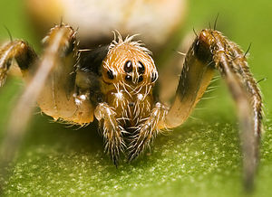 Orb-weaver spider - Close-up of the cephalothorax on Eriophora sp. (possibly E. heroine or E. pustuosa)