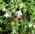 Eristalis sp. - Flickr - gailhampshire (12).jpg