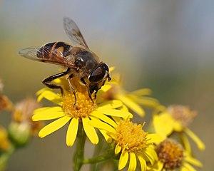 Jacobaea vulgaris - Drone fly on ragwort