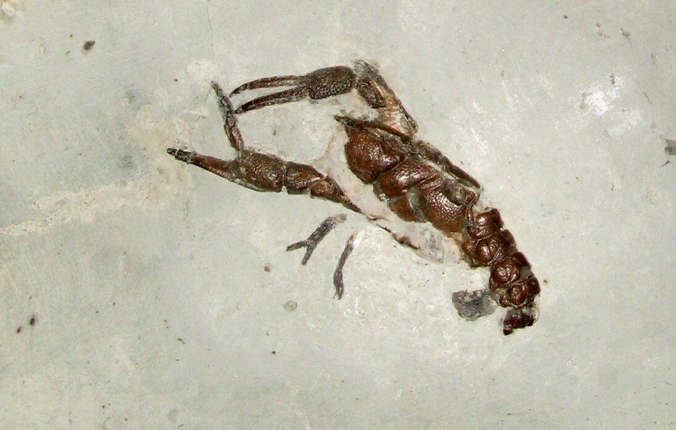 In a smooth grey block of stone, there is a brown fossil similar to a crayfish. Two long legs, each with a large claw extend forwards from the animal; one of the claws is held open.