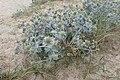Eryngium maritimum kz16.jpg