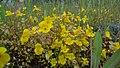 Erythranthe guttata in Icicle Canyon, Chelan County Washington 1.jpg