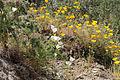 Eschscholzia californica fma. blanca (15699542674).jpg