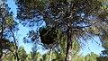 Escoba de bruja (candidatus Phitoplasma pini) en el monte de Fuente Podrida - panoramio.jpg