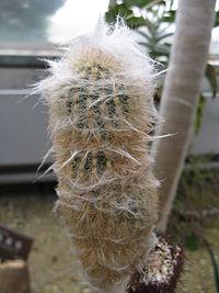 Espostoa lanata1