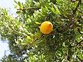 Essaouira arganier fruit (2) 1270.JPG