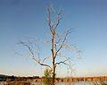 Estanys d'Almenara, arbre.JPG