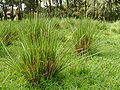 Ethiopia 2008 vetiver grass.jpg