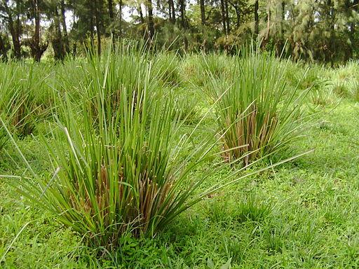 Ethiopia vetiver grass