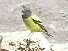 Description de l'image Ethiopian-siskin.jpg.