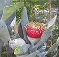 Eucalyptus macrocarpa 03.jpg