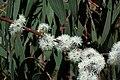 Eucalyptus perriniana flowers.jpg