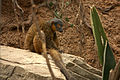 Eulemur collaris at the Bronx Zoo 01.jpg