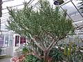 Euphorbia arbuscula (Sukkulentensammlung).jpg