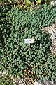 Euphorbia capitulata - Bergianska trädgården - Stockholm, Sweden - DSC00533.JPG