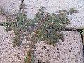 Euphorbia maculata plant4 (16180834650).jpg