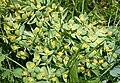 Euphorbia myrsinites Glaucous Spurge (44094633875).jpg
