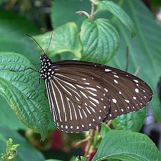 Euploea mulciber - Image: Euploea mulciber