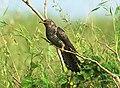 Eurasian Cuckoo Cuculus canorus by Vedant Raju Kasambe DSC 5558 (1).jpg