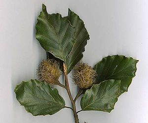 Fagus sylvatica - European beech shoot with nut cupules