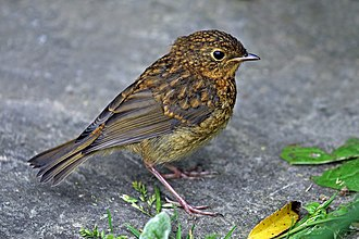 European robin - Juvenile, Sussex
