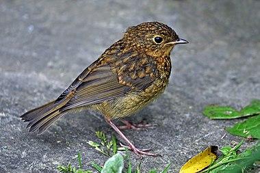 European robin juvenile