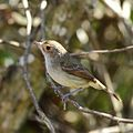 Euscarthmus meloryphus-Tawny-crowned Pygmy-Tyrant.jpg