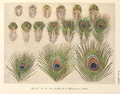 Evolution of eyes on a peacock's train by Henrik Grönvold.png