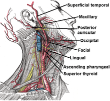 from what artery does the right common carotid artery arise
