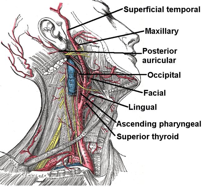 File:External carotid artery.png