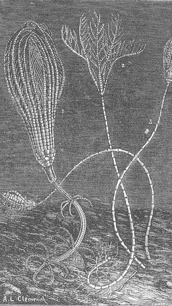 File:FMIB 46978 Crinoides des grands fonds--1Pentacrinus Wyville-Thomsoni (GwytJeffr); 2, Rhizocrinus Lofotensis (OSars); 3, Bathycrinus.jpeg