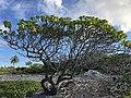 Fakarava - arbre Tohonu.jpg