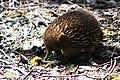 Fauna de Tasmania16.JPG