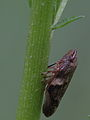 Feeding spittle bug from SE-Germany (7175095842).jpg