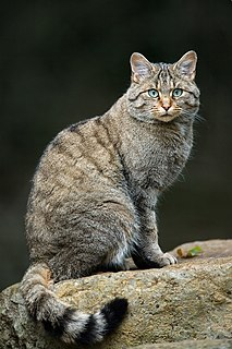 European wildcat Small wild cat
