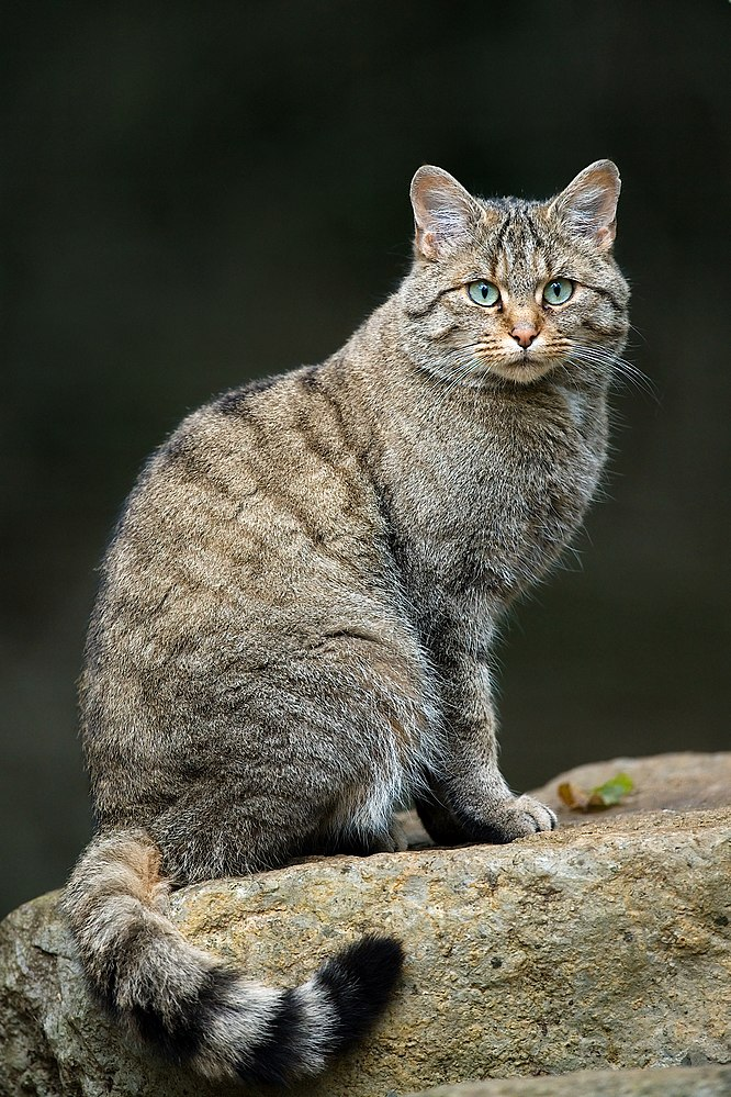 The average litter size of a European wildcat is 3