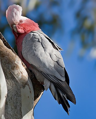 Galah - Female E. r. albiceps displaying her crest outside her nest in Tasmania, Australia