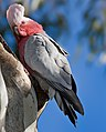 Female Galah Outside Nest.jpg