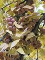 Female Ginkgo biloba (Rentilly) fruits2.jpg