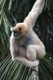 Female White-Cheeked Gibbon.jpg