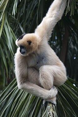 Une femelle gibbon à crêtes à joues blanches (le mâle est noir avec des poils blancs sur les joues, d'où son nom)