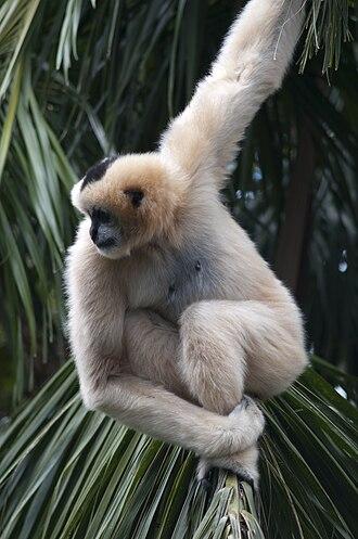Northern white-cheeked gibbon - Nomascus leucogenys female