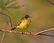Female black-headed wagtail.jpg