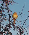 Female cardinal (4094460892).jpg