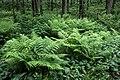 Ferns in Gullmarsskogen 4.jpg