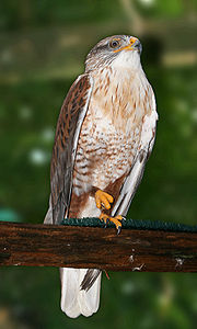 Ferruginous Hawk Captivity.jpg