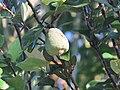 Ficus pumila - Climbing fig at Thenmala 2014 (7).jpg