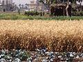 Fieldofwheat.JPG